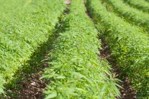 what is hemp flower