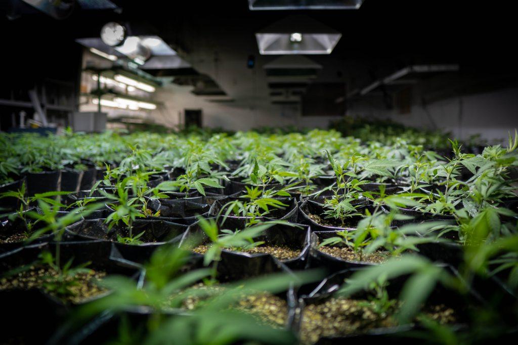 indoor hemp grow