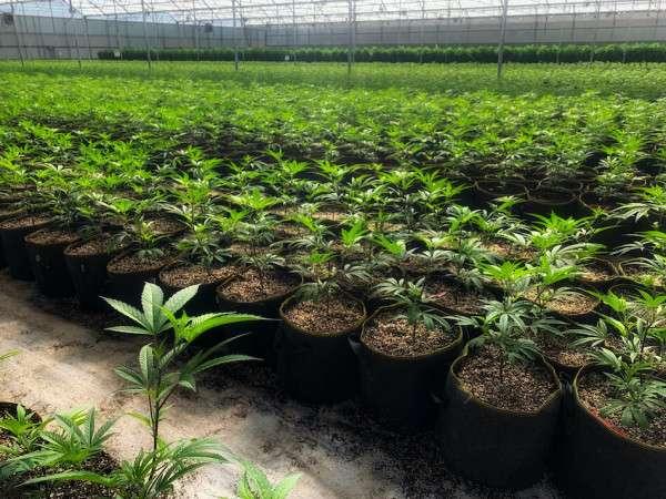 greenhouse cbd hemp flower