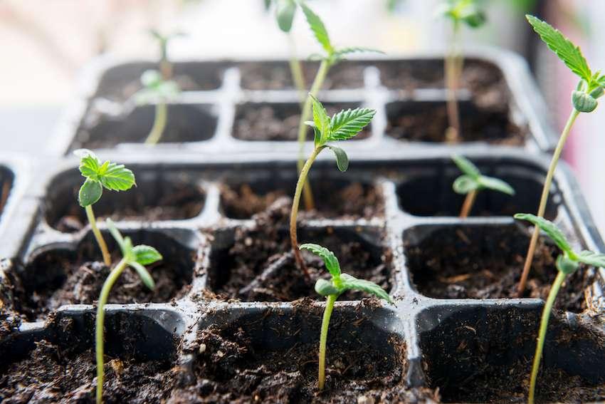 growing hemp seedlings in planters